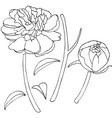 peony flower sketch vector image vector image