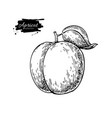 apricot drawing hand drawn isolated fruit vector image vector image