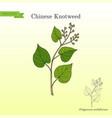 chinese knotweed polygonum multiflorum fo-ti vector image vector image