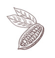 drawing cocoa fruit vector image