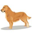 golden retriever dog vector image