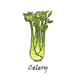 hand-drawn of green celery vector image vector image