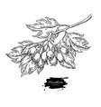 hawthorn branch drawing plant sketch with vector image vector image