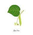 drawing branch lime tree vector image