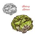 iceberg lettuce sketch vegetable vector image vector image