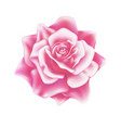 realistic rose blooming blossom mesh vector image