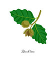 drawing branch beech tree vector image