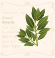 sprig of bay leaf in vintage style vector image