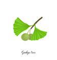 drawing branch ginkgo tree vector image vector image