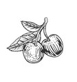 cherry berry fruit sketch engraving vector image vector image