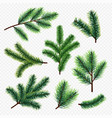 fir tree branches isolated on transparent vector image