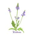flowering herb verbena or vervain vector image vector image
