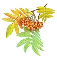 Autumn branch of rowan with vector image vector image