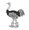 ostrich in boots with spur animal engraving vector image