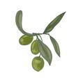 elegant botanical drawing of olive tree branch vector image vector image