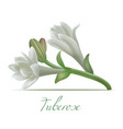 tuberose flowers in realistic style vector image