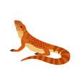 wild orange bearded dragon vector image