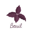 fresh purple basil leaves on white background vector image vector image