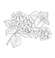 mop head of hydrangea flower isolated over white vector image