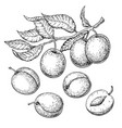 plum drawing set hand drawn fruit branch vector image vector image