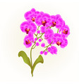 branches orchid phalaenopsis purple flowers vector image vector image