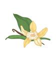 detailed botanical drawing of blooming vanilla vector image vector image
