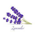 lavender flowers in realistic style vector image vector image