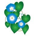 Ipomoea morning glory flower vector image