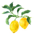 watercolor lemon tree branch vector image vector image