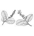branch coccoloba laurifolia vintage vector image vector image