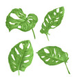 tropical plant sheets of monstera deliciosa vector image