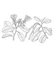 branch of capparis jamaicensis vintage vector image vector image