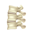 Lumbar spine isolated on white vector image