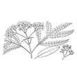 branch of lyonothamnus vintage vector image