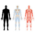 human body skeleton and muscular system vector image