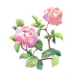 beautiful hand drawn watercolor pink peony flowers vector image