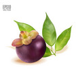 ripe mangosteen with leaves isolated on vector image vector image