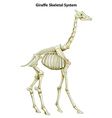 Skeletal system of a giraffe vector image vector image