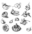 hand drawn set of garlic with parsley and vector image