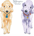 Two dogs Bedlington Terrier breed vector image vector image