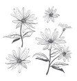 drawing flowers hand-drawn chamomiles vector image vector image