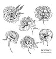 beautiful peonies set hand drawn detailed blossom vector image