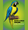 hand drawing of blue and gold macaw bird vector image vector image