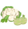 Cabbage and cauliflower vector image vector image