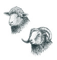 horned ram and lamb vector image vector image