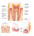 Anatomy of Teeth and Gums vector image vector image