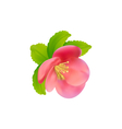 Flower of Japanese Quince Chaenomeles japonica vector image