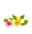 Pink and yellow frangipani plumeria exotic flowers vector image