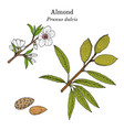 medicinal and kitchen plant almond prunus dulcis vector image vector image