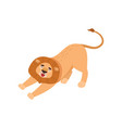 big lion stretching and yawning isolated on white vector image